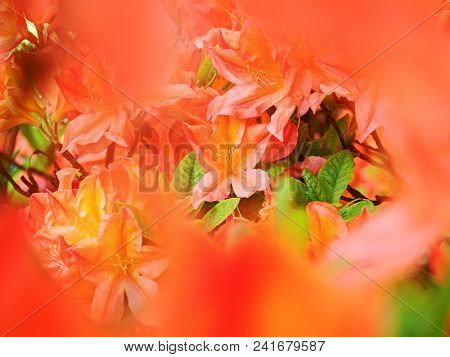 Orange Red Rhododendron Blossom, Shallow Dof, Focus On Front Blossom. Amazing Colors Of Flowering Or