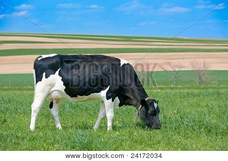 Holstein Cow Grazing On Grass