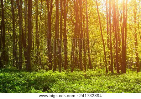 Forest Spring Landscape - Forest Trees With Plants On The Foreground And Sunlight Shining Through Th