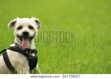 Small yorkie shih-tzu dog panting in grass with copy space. perfect for business use poster