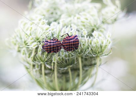 Pair Of Striped Bugs Graphosoma Lineatum Mates On White Flower. Italian Striped Bug Or Minstrel Bug,