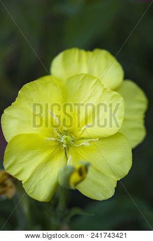 Yellow Flower Oenothera Biennis, Selective Focus
