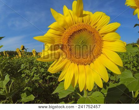 Yellow Beautiful Sunflower On A Green Stalk And Large Leaves Stands On A Sunflower Field In A Bright