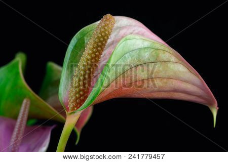Close-up Of Multicolor Anthurium Flower (tailflower, Flamingo Flower) On The Black Background.
