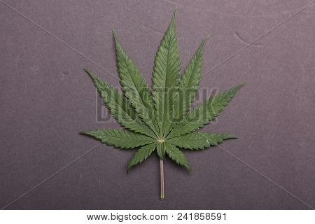 Marijuana Leaf. Marijuana Leaf isolated on black background. Nine Finger Female Marijuana Leaf isolated