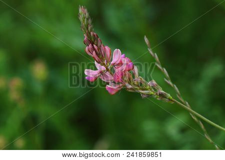 Close-up Of Pink Wild Flower On The Summer Meadow. Green Background.