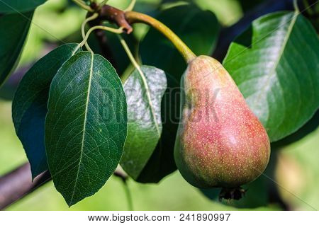 Pear Fruit Tree
