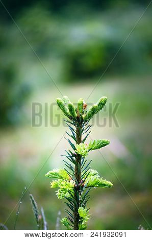 Fir Tree And Detail On A Fir Buds And Sprouts With Green Background. Close Up Of Coniferous Sprouts.