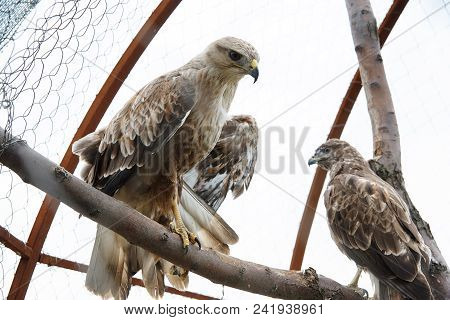 The hawk in the aviary. The maintenance of animals in captivity. poster