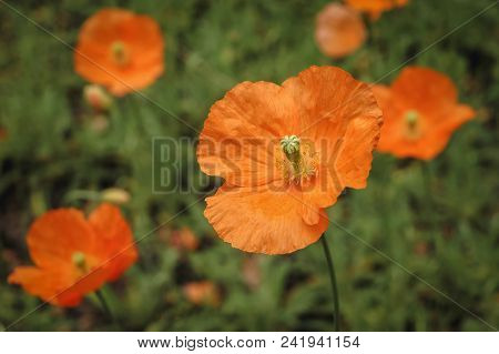 Papaver Atlanticum Flowers In The Garden, Commonly Known As Atlas Poppy