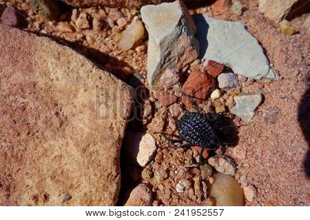 Beetle In Canyon Of Dana Biosphere Nature Reserve Near Dana Historical Village, Jordan, Middle East