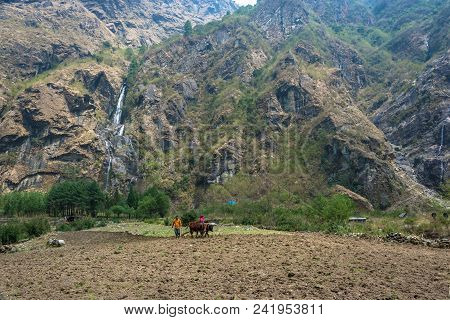 Tal, Nepal-march 29, 2018: Plowing A Small Field With A Wooden Plow And Two Bulls March 29, 2018 In
