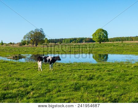 One cow grazes on a meadow near the pond a beautiful sky above it.