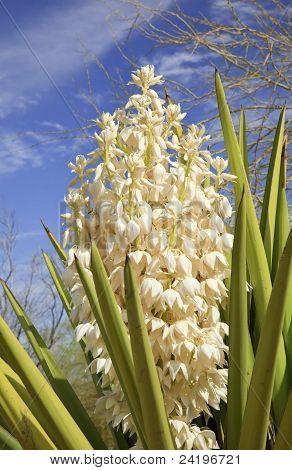 White Yucca Cactus Flowers