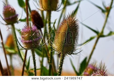 Close-up Of Wild Teasel (dipsacus Fullonum) On The Late Summer Field. Macro Photography Of Nature.