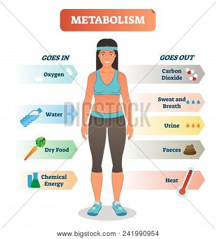 Metabolism concept vector illustration diagram, biochemical body cycle processing oxygen, water, food and chemical energy. poster