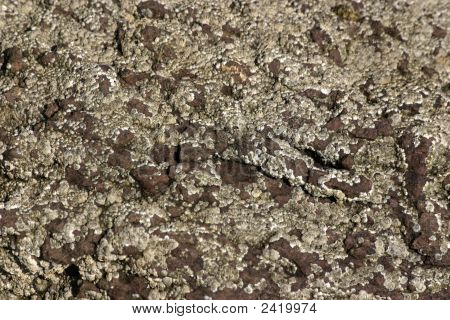 Barnacles On Red Rock