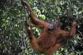 Juvenile Orangutan climbing on yhe tree in rain forest. Pongo pygmaeus poster