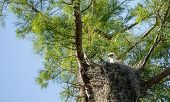 Fuzzy head of a swallow-tailed kite Elanoides forficatus chick in a nest in Naples, Florida poster