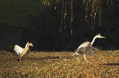 Grey heron and a goose spotted in autumnal city landscape poster