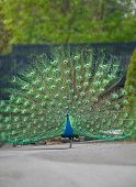 This one proud peacock bird is standing alone with his stunning plumage of feathers displayed. Background intentionally blurred to emphasize subject. poster