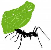 Leaf-cutter ant, Acromyrmex octospinosus, carrying leaf in front of white background. poster