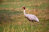 Sarus crane (Grus antigone) in Keoladeo Ghana National Park, Bharatpur, Rajasthan, India. Sarus crane is the tallest of the flying birds. poster