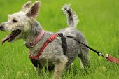 Small Yorkie poodle mix on a harness in the grass, room for copy space.. poster