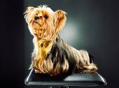 studio shot of tiny cute yorkshire terrier poster