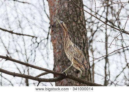 Eurasian Bittern Botaurus Stellaris Sitting On Branch Of Tree In Forest During Spring Migration. Rar