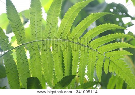 Vegetable Fern Diplazium Sp. With Spore At Backside Of Leaf From Central Of Thailand