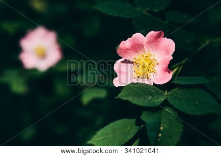 Blossoming Rosa Canina (dog Rose, Briar) Pink Flowers. No People. Closeup Shot. Androecium With Stam