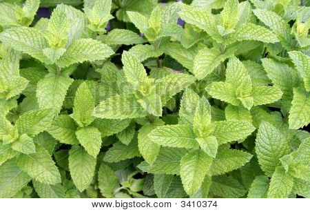 Spearmint, Fresh