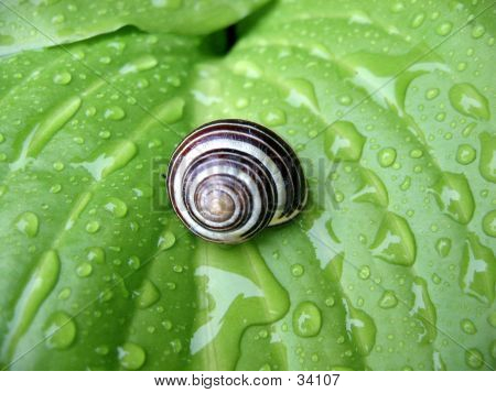 Snail On A Hosta