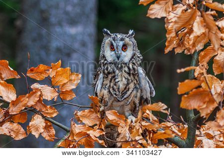 Eurasian Eagle Owl (bubo Bubo) Portrait, Owls Are Often Used As A Symbol Of Wisdom, Selective Focus
