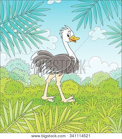 Funny Black And White Ostrich Walking On Green Grass In Savanna Against The Background Of Bushes And