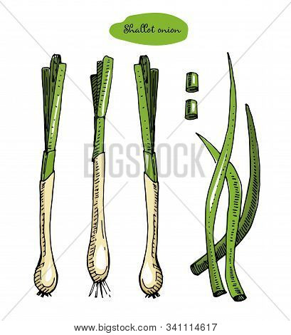 Onion Colorful Hand Drawn Vector Illustration.detailed Retro Style Sketch.kitchen Herbal Spice And F