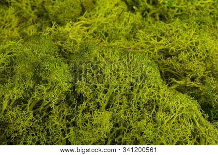 Attractive Background From Green Forest Moss