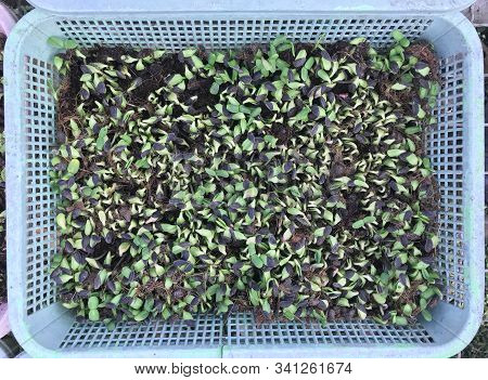 Young Sunflower Sprout Seeding In Basket, Agriculture Concept
