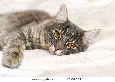 Sad Sick Young Gray Cat Lies On A White Fluffy Blanket In A Veterinary Clinic For Pets. Depressed Il