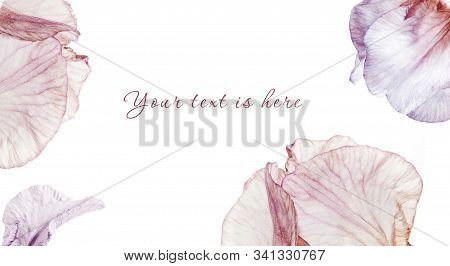 Vivid Blue, Pink And Violet Colored Iris Flower Bud On Isolated Background.