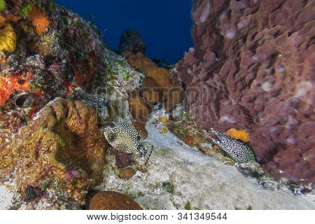 A Smooth Trunkfish Swims Past A Spotted Moray - Cozumel, Mexico