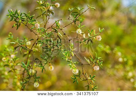 Closeup Of A Creosote Bush With Seed Heads, Tropical Plant Specie That Grows In The Deserts Of Ameri