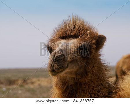 Young Camel In The Steppes Of Kazakhstan.