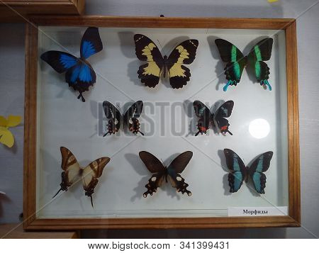 Caption: Morphids. Morphids Are A Subfamily Of Day Butterflies From The Nymphalidae Family. Dried Am