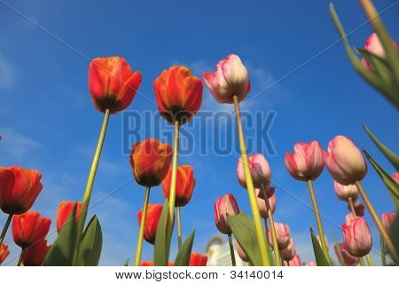 blossoming tulips from low angle with blue sky as background.Adobe RGB color profile used for more detail show.