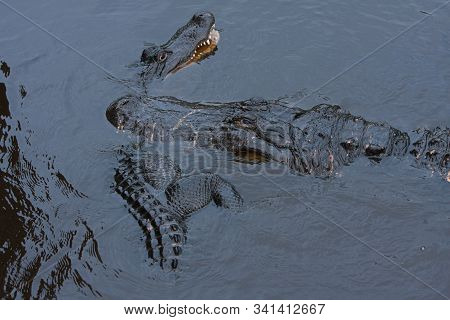 A large male alligator attacks a younger gator for entering it's territory during breeding season. poster