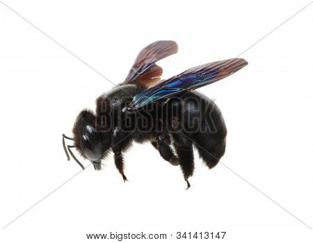 Bumblebee - Xylocopa violacea isolated on white background