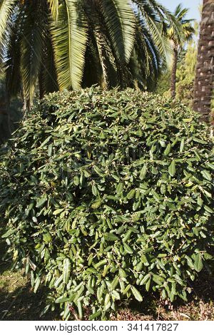 Elaeagnus Pungens Is A Shade-tolerant, Drought-tolerant Plant. It Is Used In Decorative And Garden C