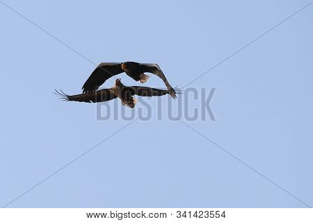 Two Eagles Flying In Blue Sky Close To Each Other. White Tailed Eagle (haliaeetus Albicilla) And Ste